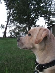 Part Labrador, part beagle, part staffie.