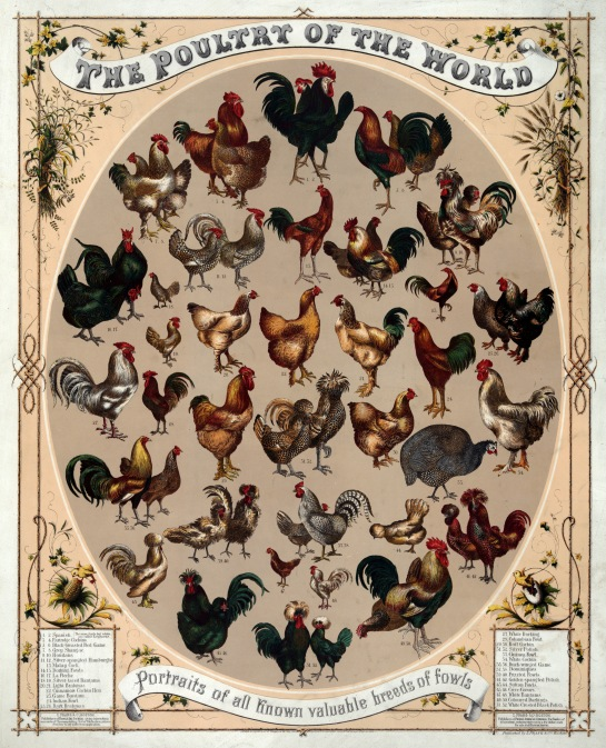Poultry_of_the_world