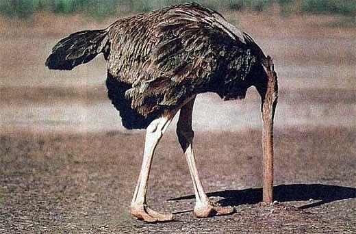 ostrich-head-in-sand