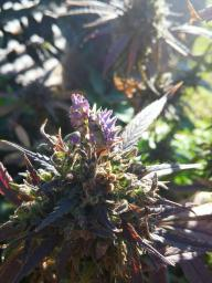 Trippy Weed Mantis