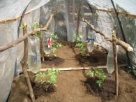 Drip_irrigation_through_plastic_bottles