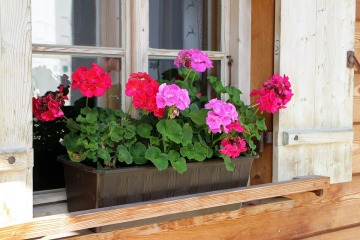 pelargonium flower box