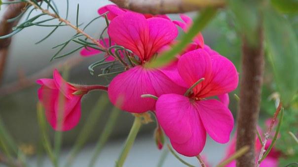 pink pelargonium