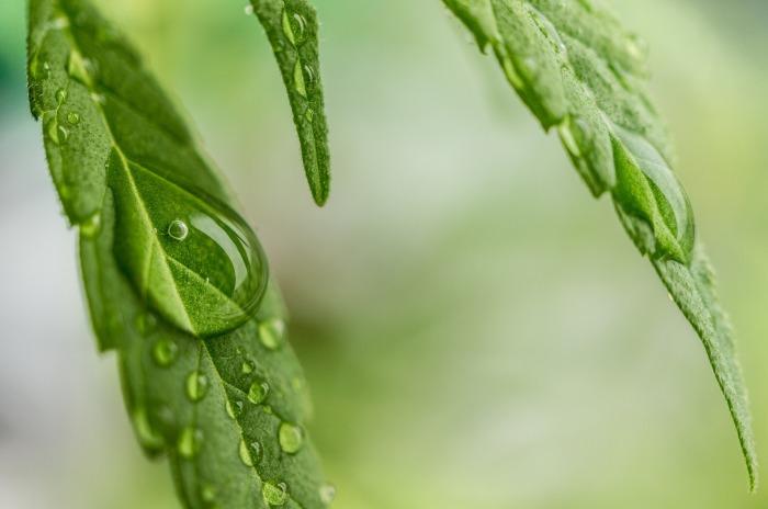 cannabis-1062904_1920